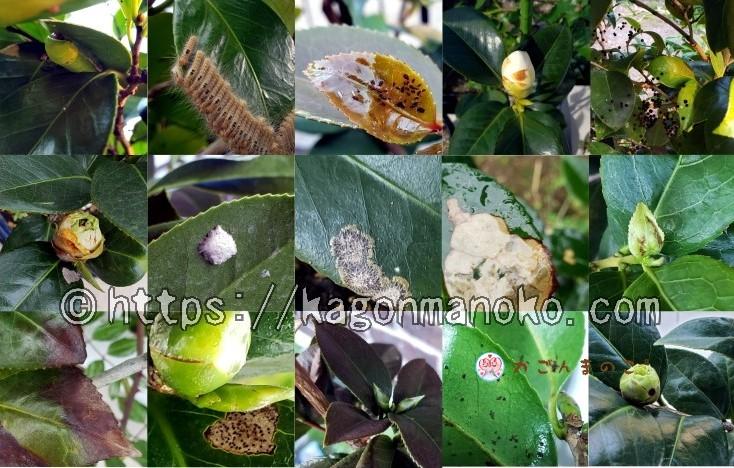 椿の「病害虫・葉の変色・蕾の異変」総まとめ-症例写真で原因を知る-